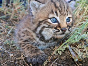 how the 101 freeway is changing the way our local wild animals evolve