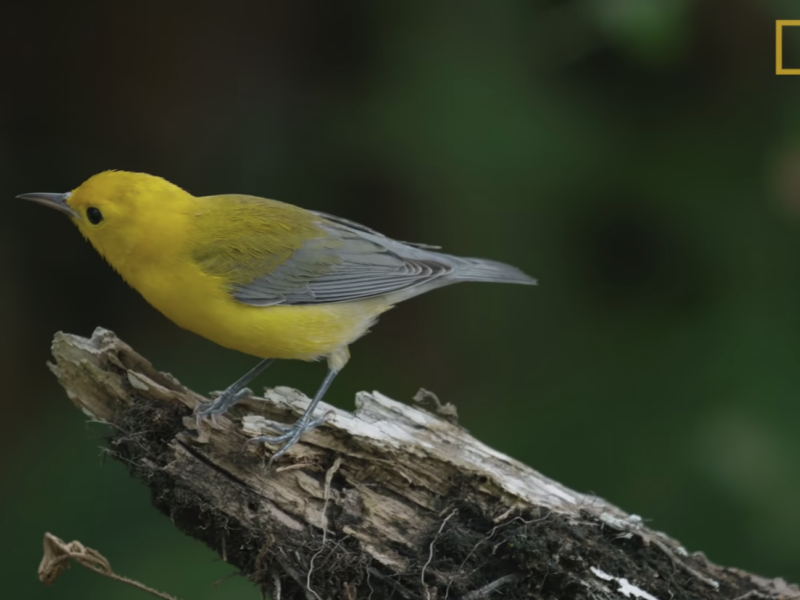 national geographic film features bird genoscape project