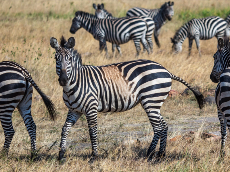 larison paper on zebra stripes featured by national geographic