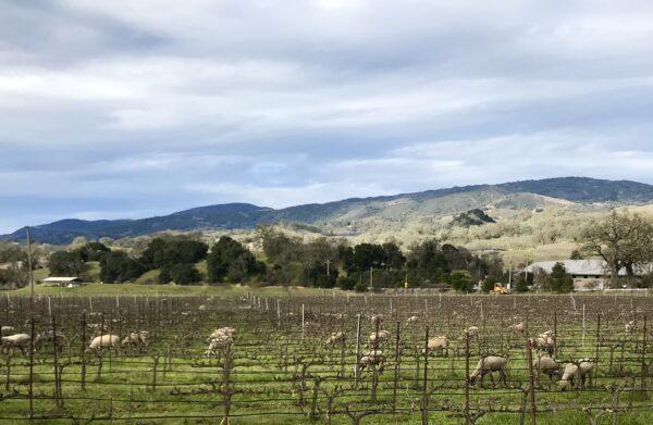 sheep in biodynamic vineyard