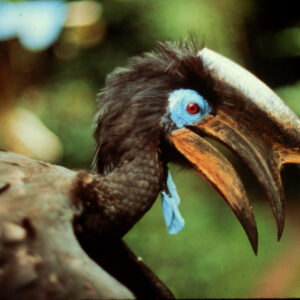 Sideview of African Hornbill