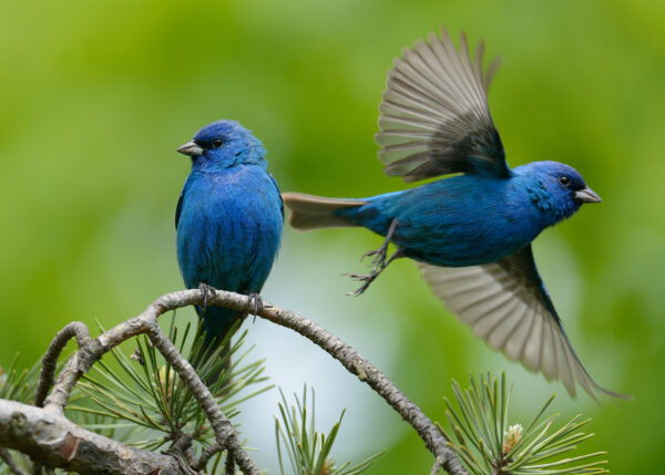 An indigo bunting before and after takeoff. | Photo via Flickr/JanetAndPhil
