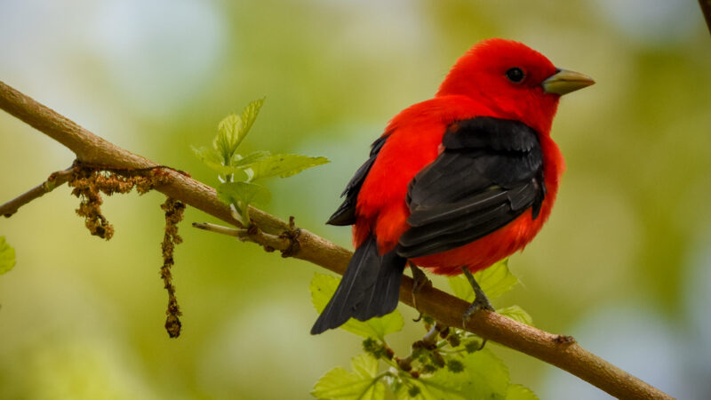 Scarlet tanagers breed across the Northeast U.S. but winter as far south as Bolivia. | Photo by Jen Goellnitz (via Flickr).