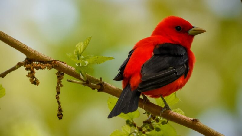 migratory songbirds' travels disrupted by earlier springs