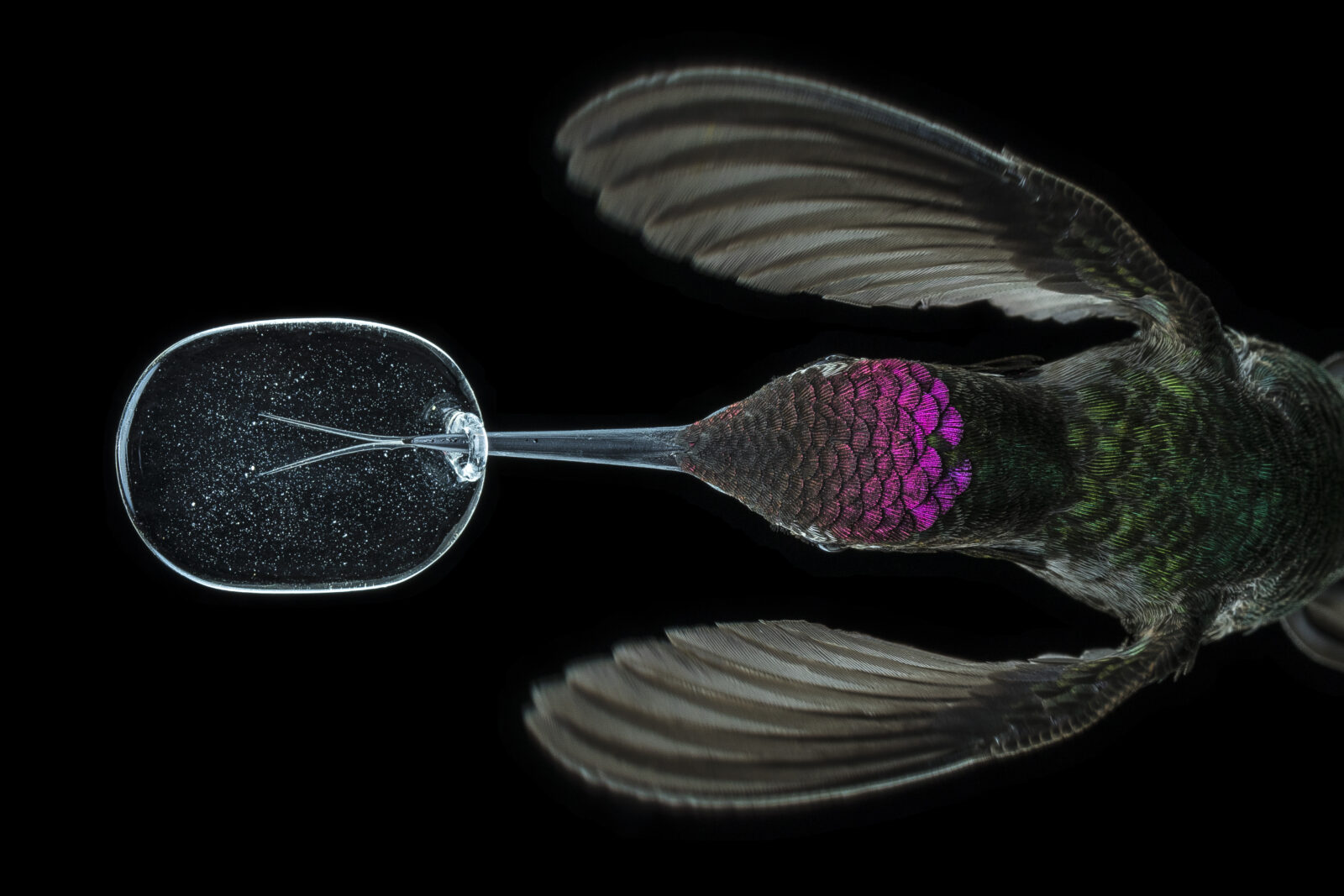 hummingird