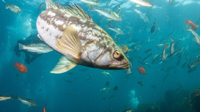 kelp_bass_school_medium