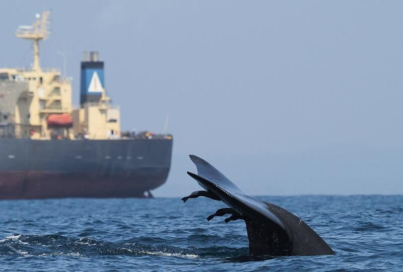 A blue whale dives within a busy shipping highway off southern Sri Lanka. ASHA DE VOS/OCEANSWELL