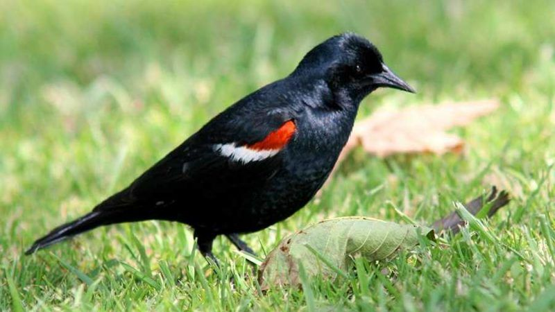 developing genomic resources to inform conservation and management of the tricolored blackbird