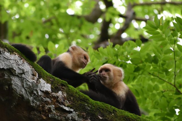 led by ctr affiliate faculty member, susan perry, ucla research reveals how new behaviors appear and spread among capuchin monkeys