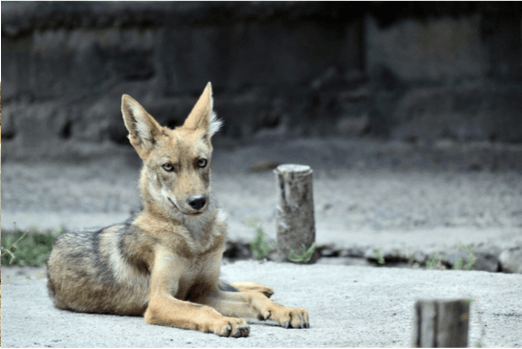 intestinal pathogen surveillance in los angeles region coyotes