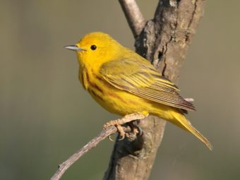 can this bird adapt to a warmer climate? read the genes to find out