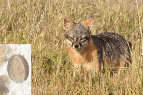 dna meta-barcoding to inform management for parasite infecting endemic san miguel island foxes