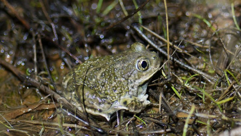 landscape genomics of the western spadefoot toad, spea hammondii, in the natural reserve of orange county, california