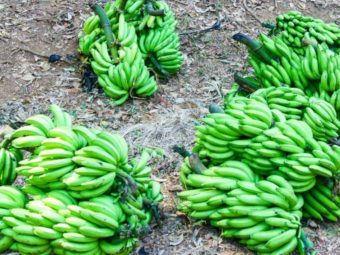 climate change cuts plantain production, schooling