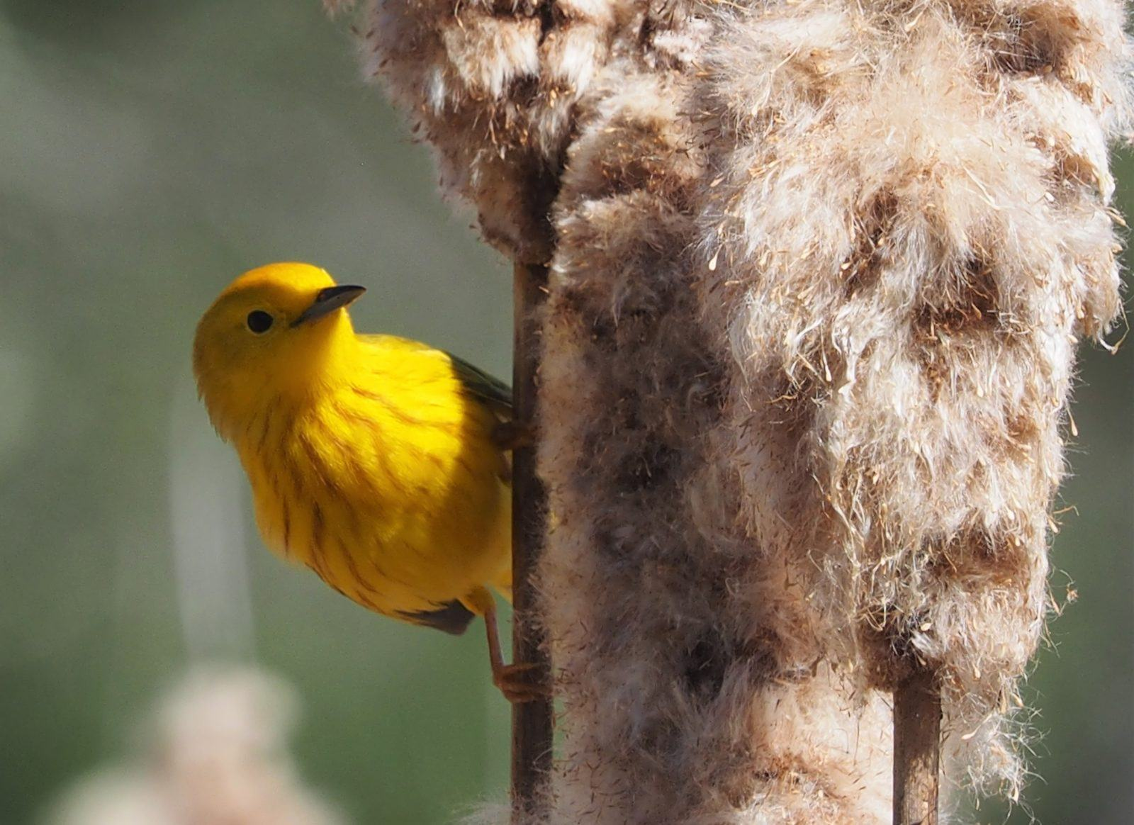 genetic mapping shows migratory birds' vulnerability to climate change
