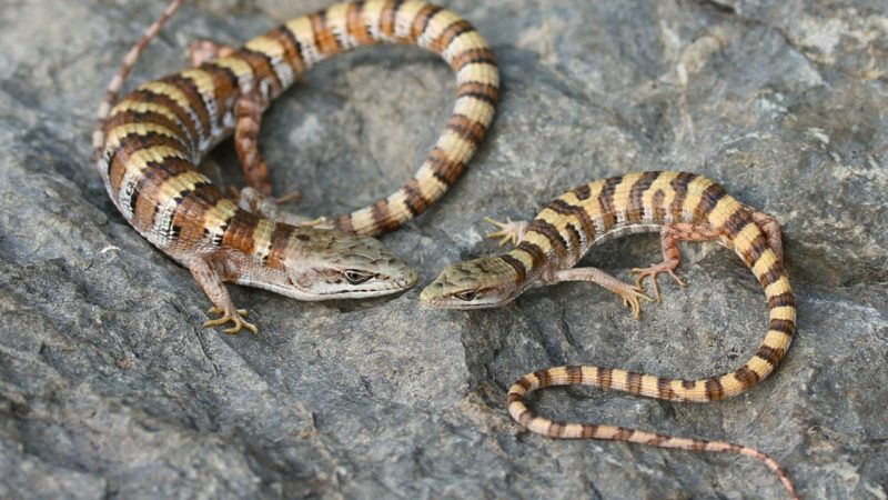 landscape genomic analyses of four endangered california reptile and amphibian species