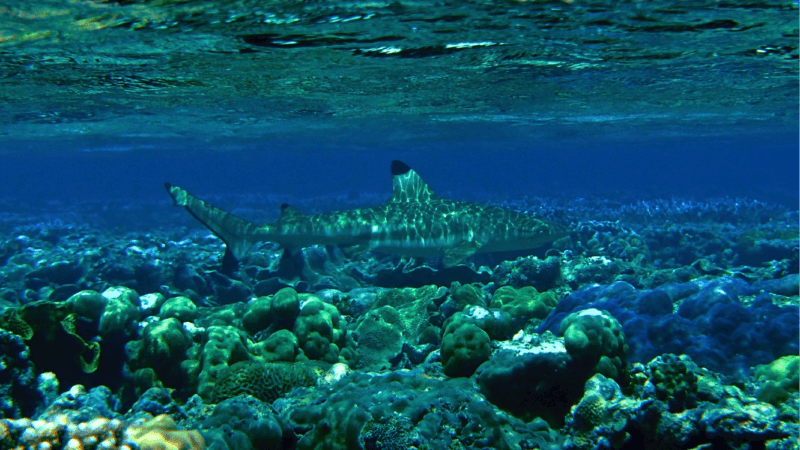 A reef shark off the coast of American Samoa.