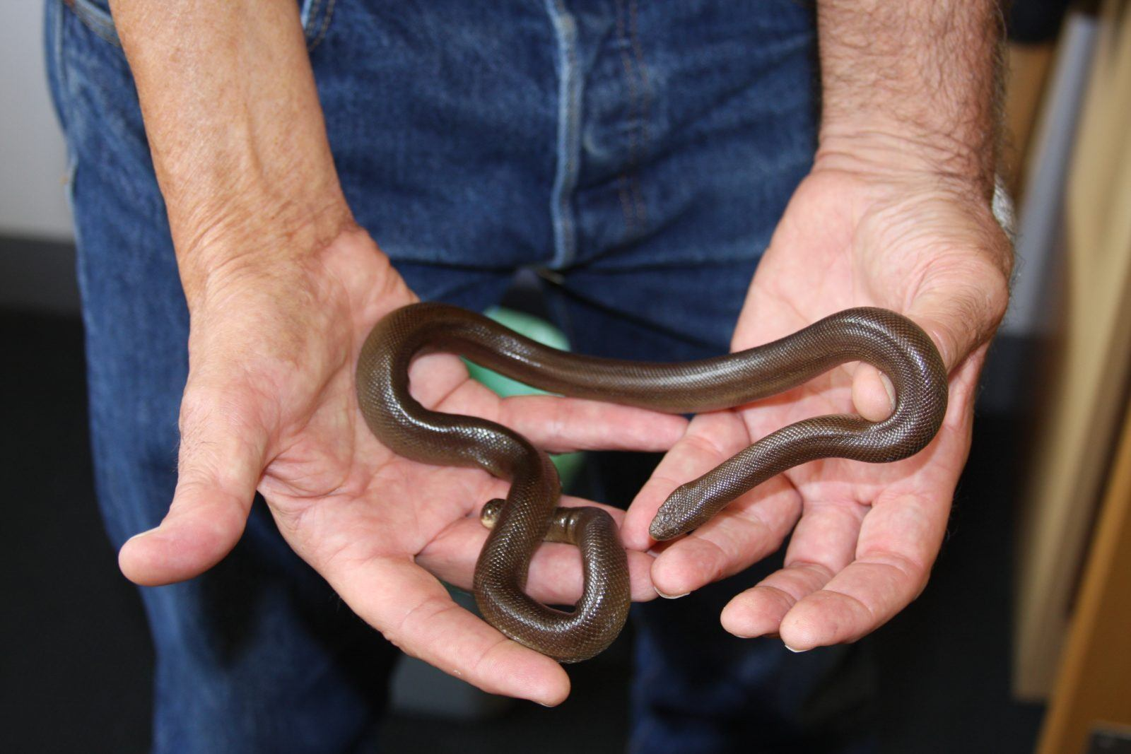 the search for the southern rubber boa