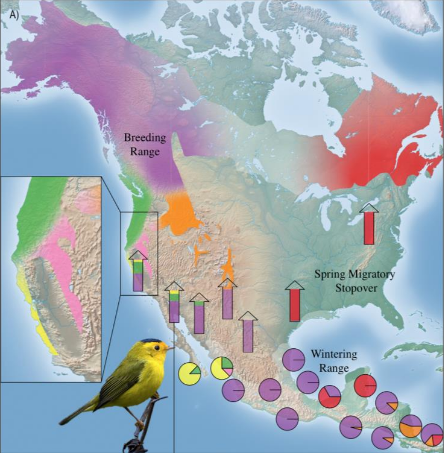 Population specific migratory flyways for Wilson's warbler