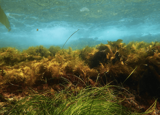 assessing mechanisms that facilitate the success of the invasive brown alga, sargassum horneri, and enhance community susceptibility to invasion
