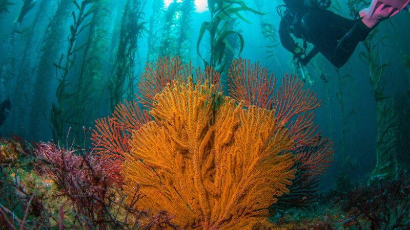 coral and kelp off catalina