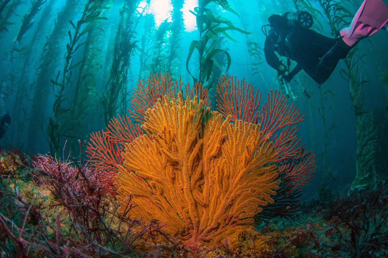 coral and kelp off catalina