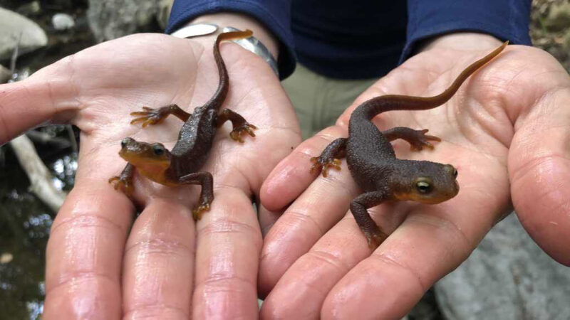as climate change messes with temperature and precipitation, california newts suffer