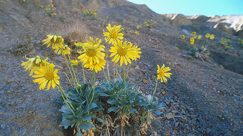 Uphill Battle For California S Native Plant Species Institute Of