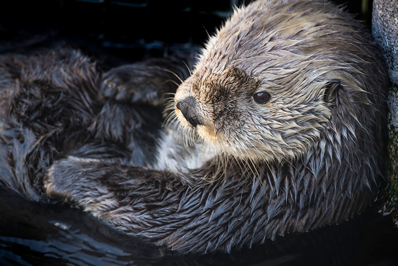 robert wayne in ucla newsroom: sea otters have low genetic diversity like endangered species, biologists report