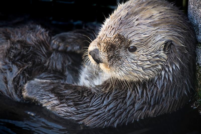 robert wayne in ucla newsroom: sea otters have low genetic diversity like endangered species, biologists report