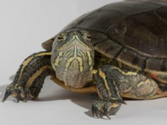 scientists decode genome of painted turtle, revealing clues to extraordinary adaptations