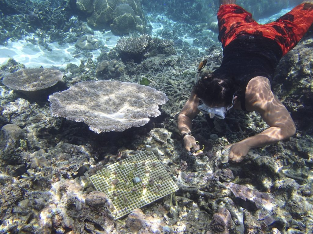 An assistant to the National Park Service on Ofu, American Samoa, helps transplant corals.