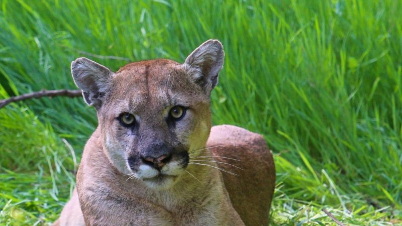 los angeles is a metropolitan den for mountain lions