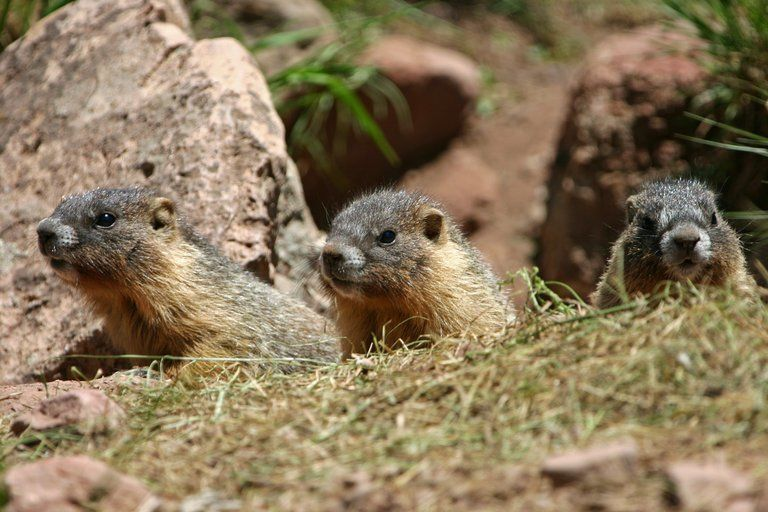being antisocial leads to a longer life. for marmots.