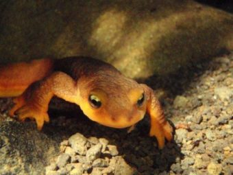 drought makes life hard for los angeles newts