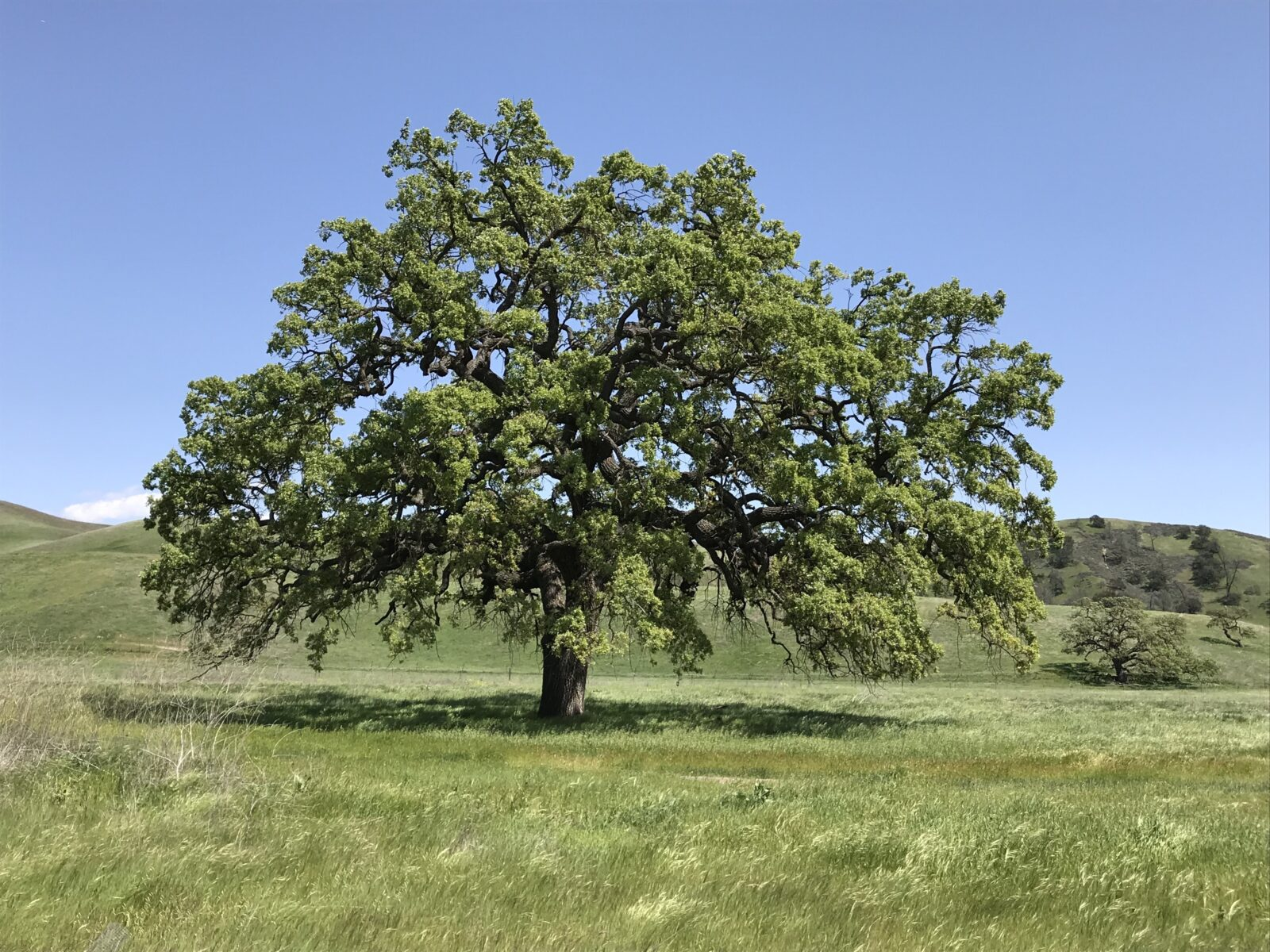 one of california's iconic tree species offers lessons for conservation