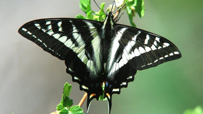 butterfly survey by la kretz center and natural history museum scientist