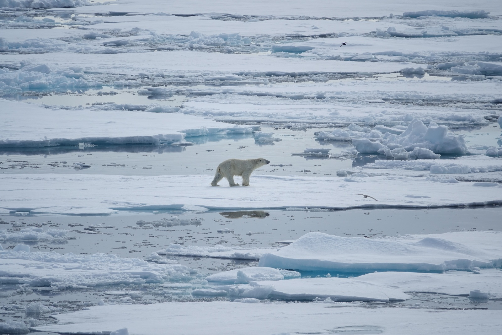 an intimate glimpse at arctic wildlife in a year of record ice melt