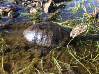 western pond turtle at-risk species assessment