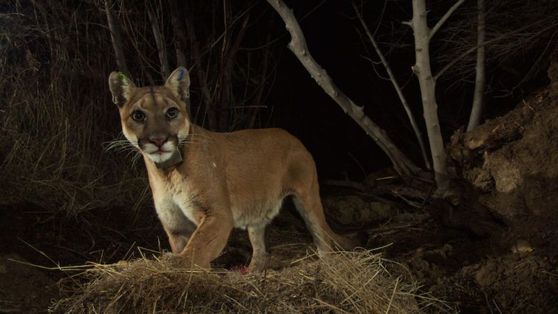 la kretz postdocs partner with national park service on mountain lion study