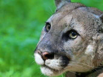 local mountain lion population faces precipitous decline in genetic diversity within 50 years, possible extinction