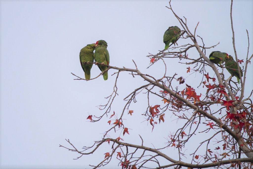 the future of our electric grid, the journey from guadalajara, the wild parrots of pasadena