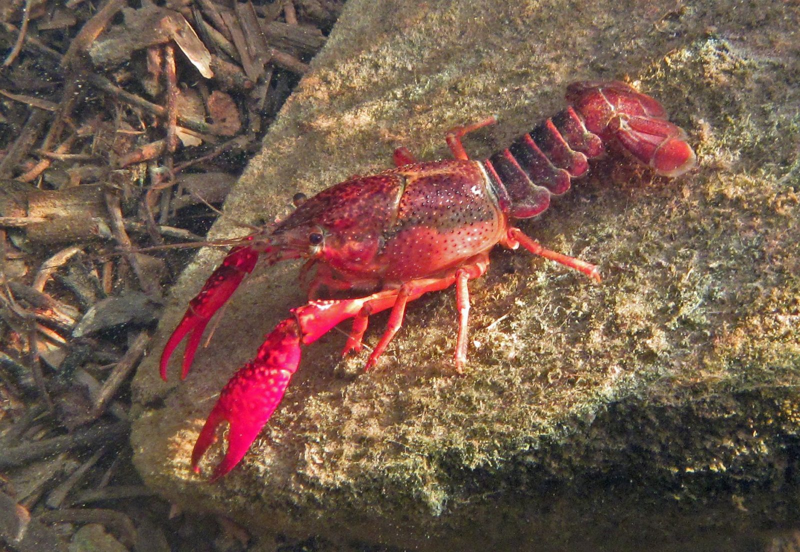 invasive crayfish lead to more mosquitoes and risk of disease in southern california
