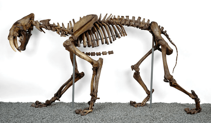 blaire van valkenburgh in science news: saber-toothed cats were fierce and family-oriented