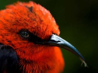 the role of sexual selection in speciation in pacific island songbirds