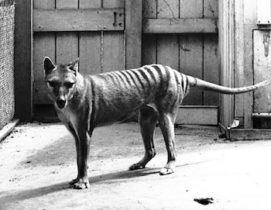 The thylacine went extinct in the 20th century.