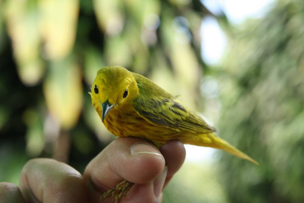 can migratory birds survive rapid climate change? the answer may be in their genes