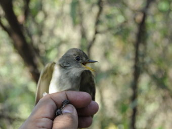 willow flycatchers, already an endangered species, also imperiled by climate change