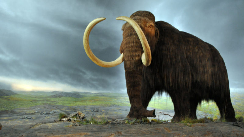 future of the wooly mammoth